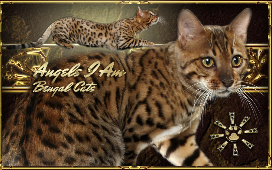 Bengal cats for sale in northern california